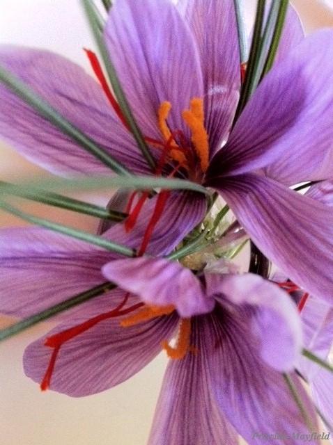 Garden Special: Saffron Crocus