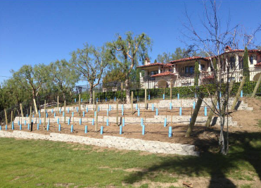 Dreaming of a Home Vineyard