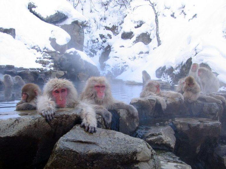 Monkey Month Travel: Japanese Snow Monkeys and Kokuya Hotel Nagano