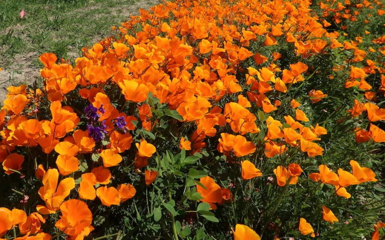 Skip the Superbloom Crowds and Go Behind the Scenes with Wildflowers in Irvine
