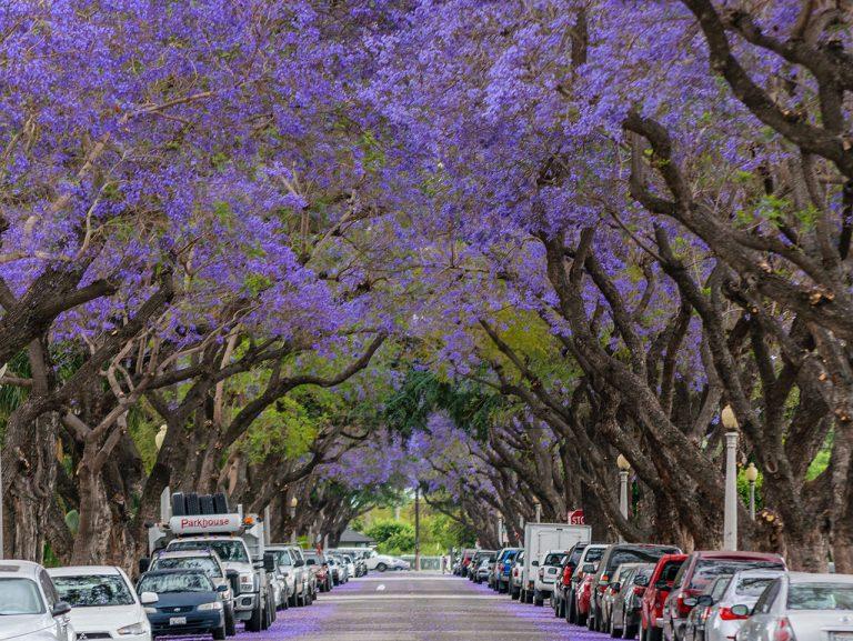 Local Photographer Captures Jacaranda Trees in Full Bloom in Santa Ana
