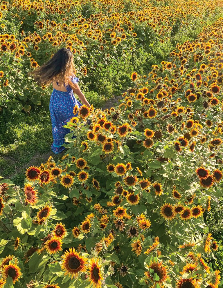 Where to Find This Field of Sunflowers in Costa Mesa